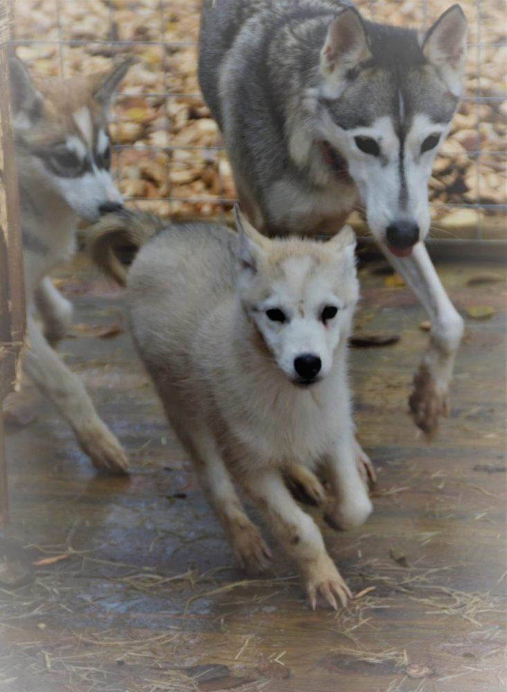 Husky puppy running